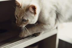 Inländische junge männliche weiße blauäugige Katze Wohnzimmer konzipiert in der Retro- Art Stockfotos