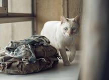 Inländische junge männliche weiße blauäugige Katze Wohnzimmer konzipiert in der Retro- Art Stockbilder