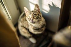 Inländische junge weibliche Katze Lizenzfreies Stockfoto