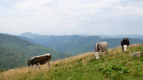 Inländische Kühe lassen in den Karpatenbergen weiden ukraine stock footage