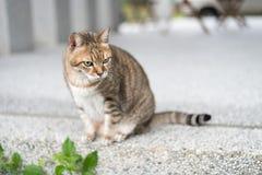 Inländische Katze der getigerten Katze Lizenzfreie Stockbilder