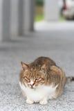 Inländische Katze der getigerten Katze Lizenzfreies Stockbild