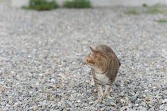 Inländische Katze der getigerten Katze Lizenzfreies Stockfoto