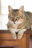 Inländische Katze der getigerten Katze Stockfoto