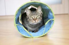 Inländische Marmortigerkatze, die im blauen und grauen Katzentunnel, Blickkontakt lauert Stockbild