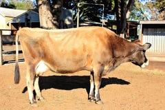 Inländische Milchkuh Stockfoto