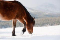 Inländische Pferde Stockfoto