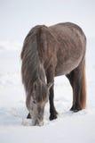 Inländische Pferde Stockfotografie