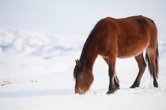 Inländische Pferde Lizenzfreie Stockbilder