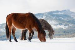 Inländische Pferde Stockbilder