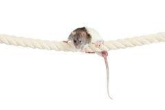 Inländische Ratte, die durch das Seil getrennt auf Weiß klettert stockbild