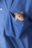 Inländische Ratte in einer Tasche Stockbilder