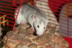 Inländische Rattennahaufnahme Stockfotografie