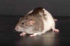 Inländische Rattennahaufnahme Lizenzfreie Stockfotos