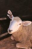 Inländische Schafe Stockfoto