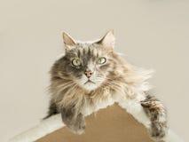 Inländische sibirische Katze, die auf einem Katzenbaum ein Sonnenbad nimmt Lizenzfreies Stockbild