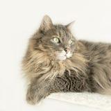 Inländische sibirische Katze, die auf einem Katzenbaum liegt Lizenzfreies Stockbild