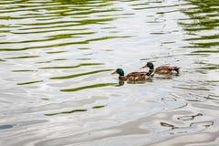 Inländische Stockenten, die im Teich schwimmen Lizenzfreie Stockfotografie