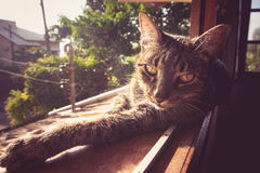 Inländische Tabby Cat Pet Lizenzfreie Stockbilder