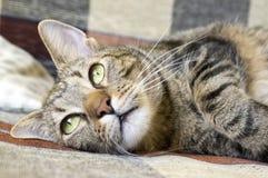 Inländische Tigerkatze, die auf braunem und beige Sofa, Blickkontakt liegt Lizenzfreies Stockfoto
