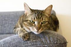 Inländische Tigerkatze, die auf grauem Sofa, Blickkontakt liegt Lizenzfreies Stockfoto
