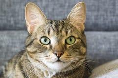 Inländische Tigerkatze, die auf grauem Sofa, Blickkontakt liegt Stockbild
