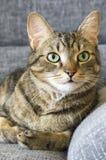 Inländische Tigerkatze, die auf grauem Sofa, Blickkontakt liegt Stockfotos
