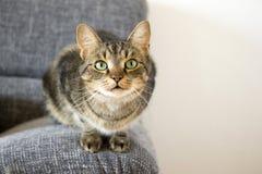 Inländische Tigerkatze, die auf grauem Sofa, Blickkontakt liegt Lizenzfreie Stockfotos
