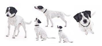 Inländischer Hund in den verschiedenen Haltungen Stockfotos