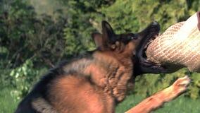 Inländischer Hund, Schäferhund Dog, Erwachsener, der einen Mann, Trainerarbeit laufen lässt und angreift stock footage