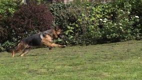 Inländischer Hund, Schäferhund Dog, weiblicher Betrieb auf Gras stock video footage