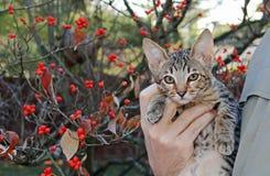 Inländischer Serval Savannah Kitten Lizenzfreies Stockbild