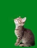 Inländischer Tabby-Katze-Ausschnitt Lizenzfreies Stockbild
