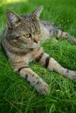 Inländisches cat Stockfotografie