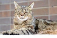 Inländisches cat Lizenzfreies Stockbild