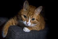 Inländisches cat Lizenzfreie Stockfotos