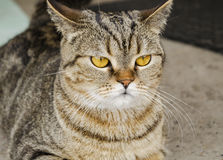 Inländisches Haustier, Katze Lizenzfreies Stockfoto