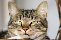Inländisches Marmorkatzenporträt, Blickkontakt, nettes Miezekatzegesicht Lizenzfreies Stockfoto
