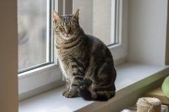 Inländisches Marmorkatzenporträt, Blickkontakt, nettes Miezekatzegesicht, erstaunlicher Kalk mustert Lizenzfreies Stockbild