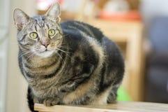 Inländisches Marmorkatzenporträt, Blickkontakt, nettes Miezekatzegesicht, erstaunlicher Kalk mustert Stockfotos