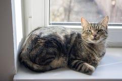 Inländisches Marmorkatzenporträt, Blickkontakt, nettes Miezekatzegesicht, erstaunlicher Kalk mustert Lizenzfreies Stockfoto
