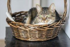 Inländisches Marmorkatzenporträt, Blickkontakt, nettes Miezekatzegesicht, erstaunlicher Kalk mustert Stockbilder