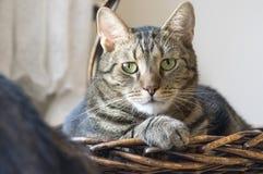 Inländisches Marmorkatzenporträt, Blickkontakt, nettes Miezekatzegesicht, erstaunlicher Kalk mustert Stockfoto