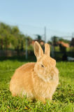 Inländisches orange Kaninchen, das im Yard sitzt Lizenzfreie Stockbilder