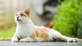 Inländisches Shorthair-Katzenlügen ausgedehnt auf den Boden, der oben schaut lizenzfreies stockfoto