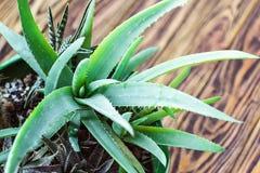 Inlagd aloe Vera Plant på trätabellen Tolererar tropiska gröna växter för aloevera sidor för closeupselectiv för varmt väder Urba royaltyfria bilder