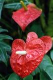 Inlagd Anthurium Royaltyfria Bilder