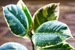 Inlagd fikuselasticaväxt, på en träbakgrund, closeup, selectivfokus Stads- arbeta i trädgården, hem- plantera Arkivbilder
