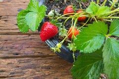 Inlagd jordgubbe på träbakgrund arkivbilder