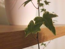 Inlagd murgrönaväxt på hylla arkivfoto